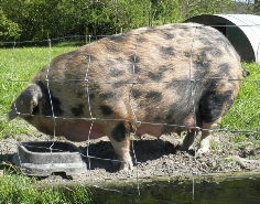 Pig Keeping Courses in the Lake District