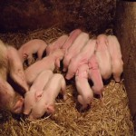 british-lop-piglet-1