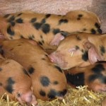 oxford-sandy-and-black-pigs-5